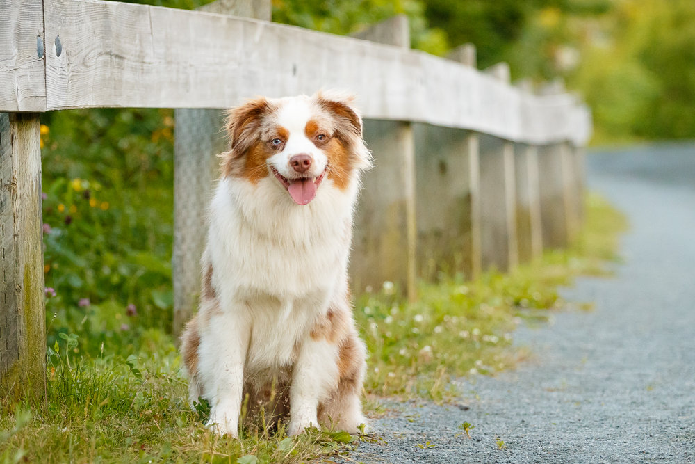 Australian_Shepherd_Halifax_Dog_Photographer.jpg