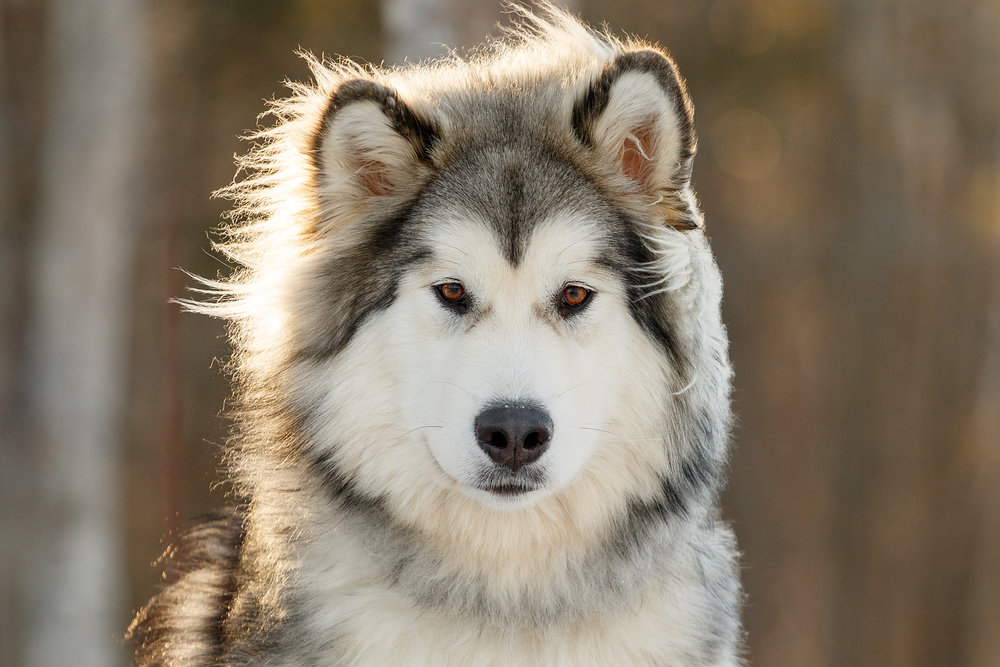 malamute_halifax_dog_photography.jpg