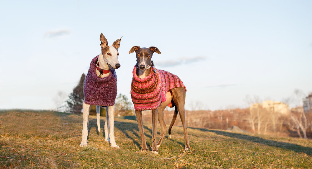 greyhound_pet_photographer.jpg