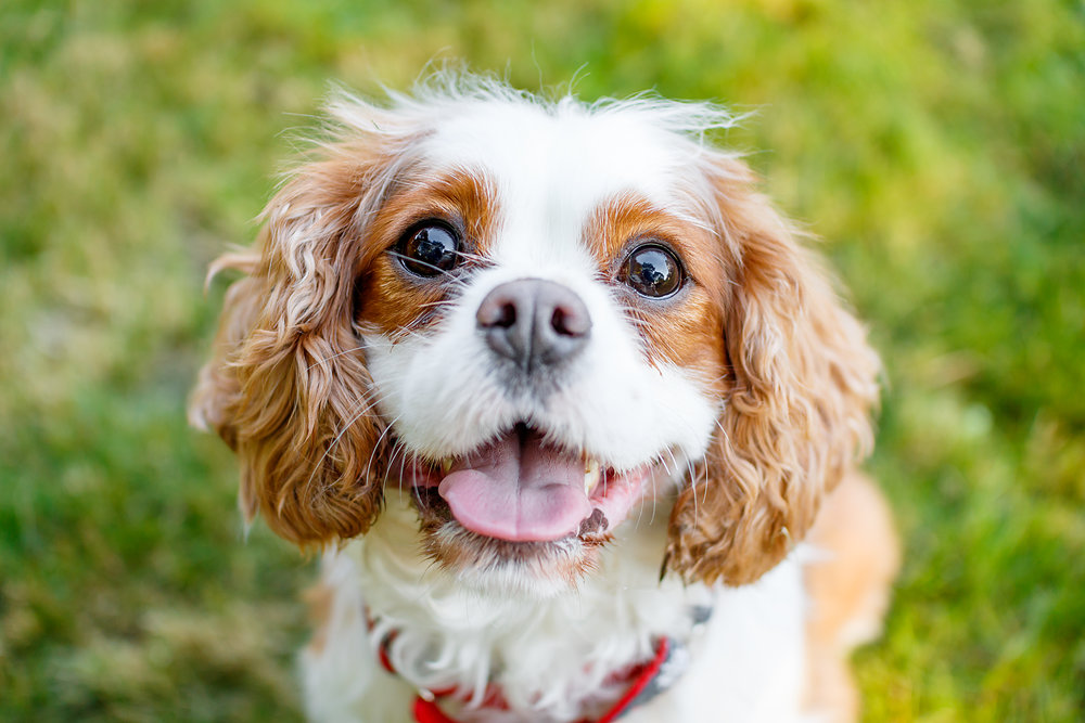 cocker_spaniel_halifax.jpg