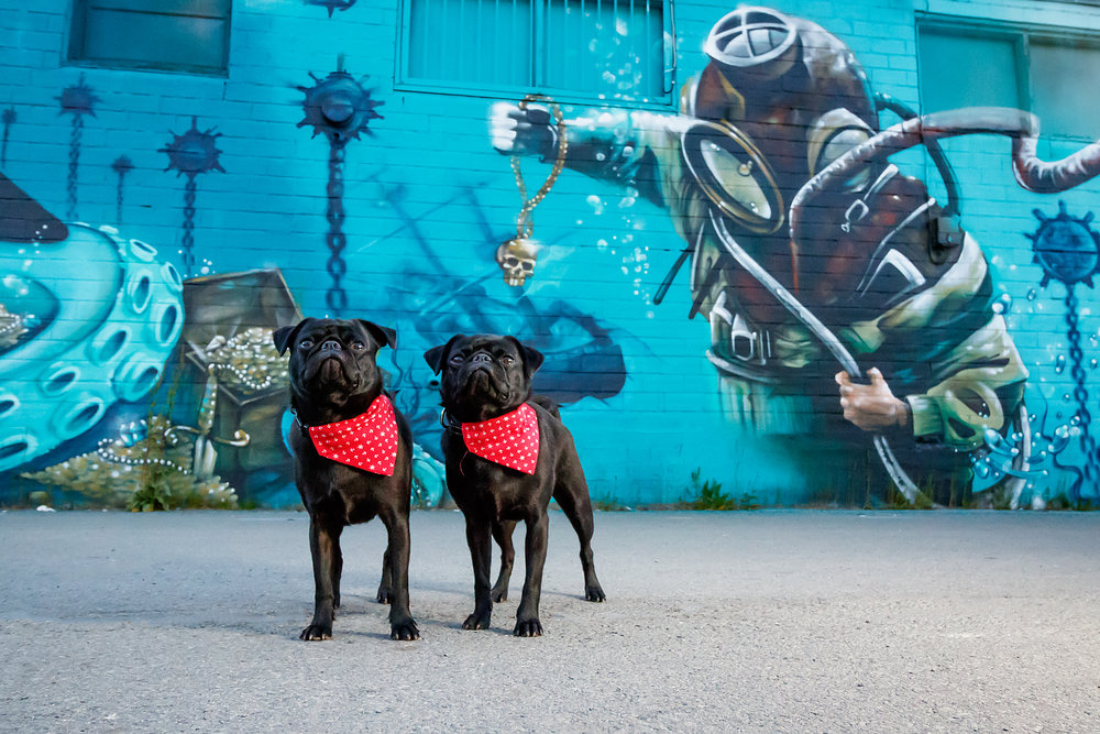pugs_dartmouth_photography.jpg