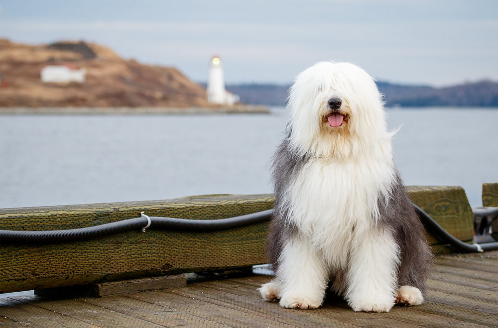 old_english_sheepdog_halifax.jpg