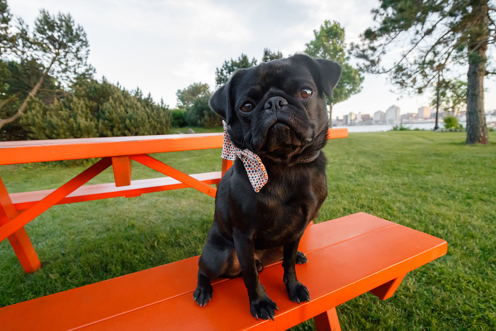 black_pug_dartmouth_dog_photography.jpg
