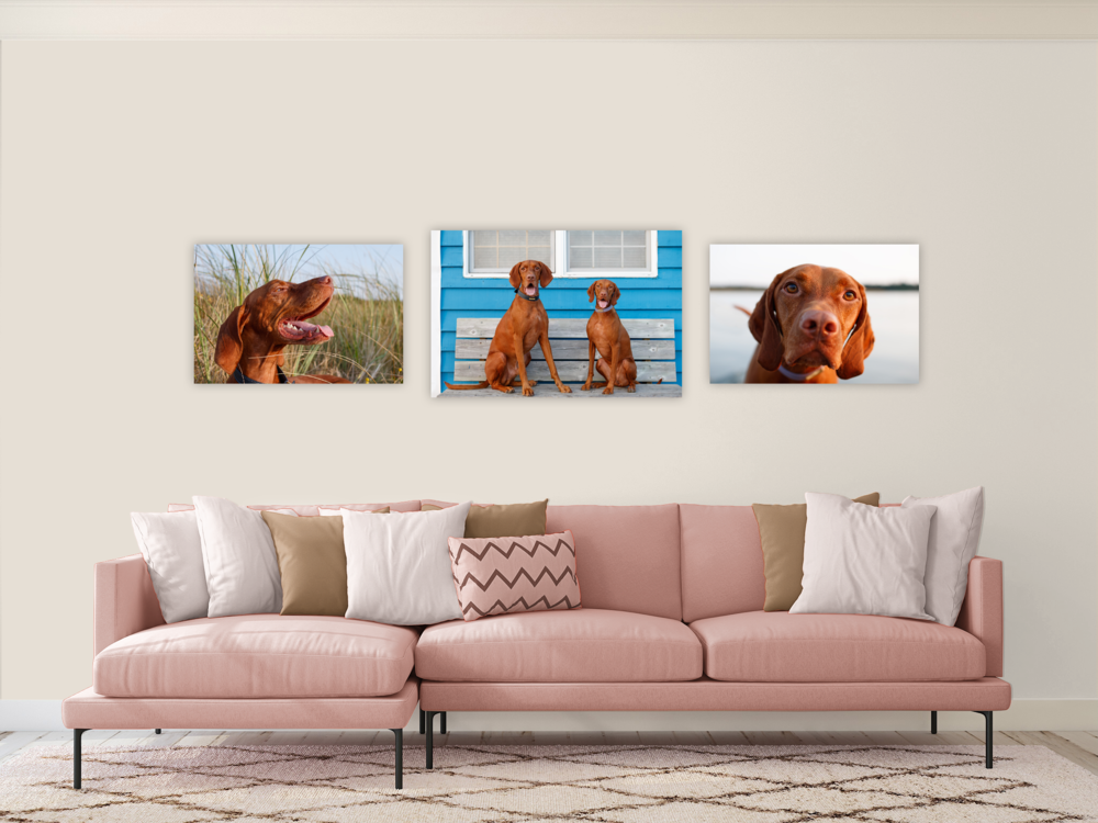vizsla_halifax_pet_photographer.png