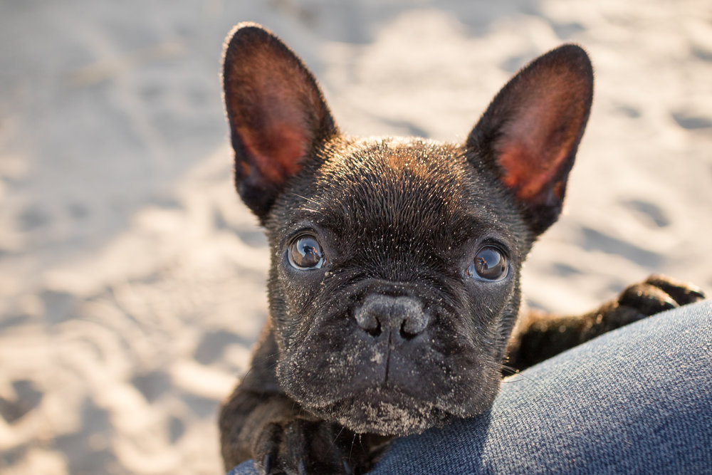 frenchie_puppy_halifax.jpg