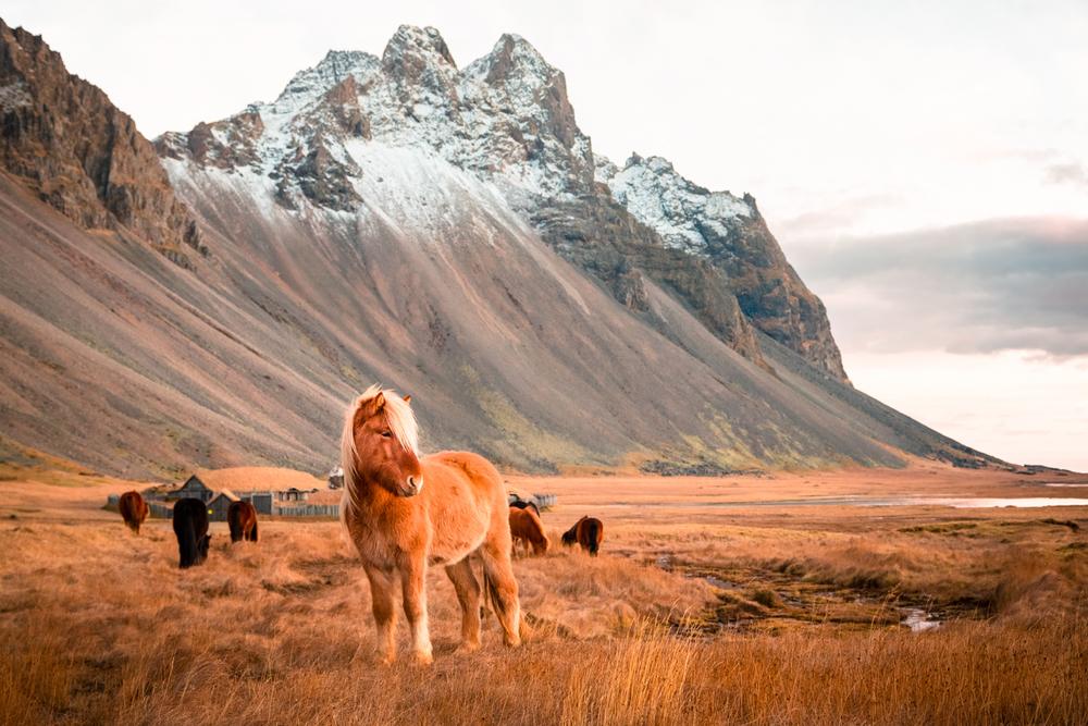 Icelandic horses by Stokksnes, Iceland