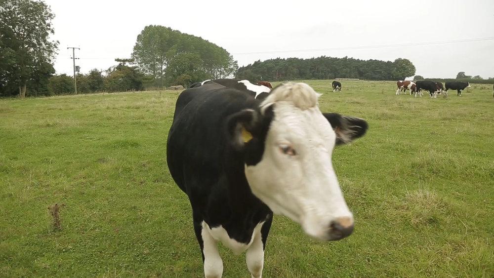 marryoke-cow-norfolk-4