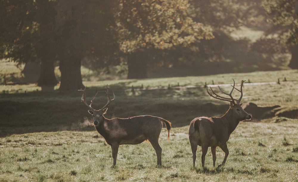 london-bedfordshire-uk-wedding-photography-woburn-sculpture-gallery-deer-101