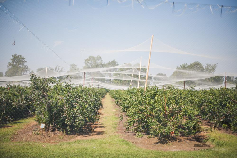 Northfield Berries1.jpg