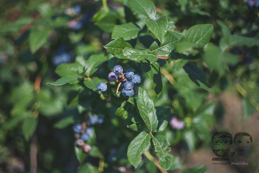 Northfield Berries2.jpg