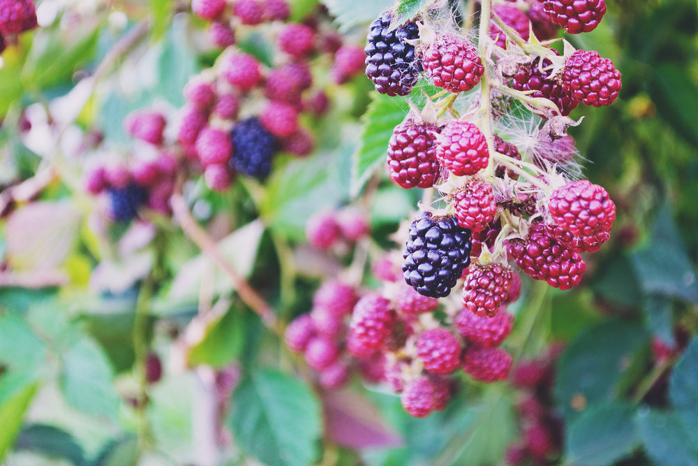 Mulberry Tree - Contrary to popular opinion (and nursery rhymes), this colorful berry grows on a tree, not a bush. Mulberries turn from a bright red to a deep purple as they ripen, providing beautiful tones for your home throughout their growing season. The vine-like leaves also provide an interesting texture that makes this fruit tree stand out.