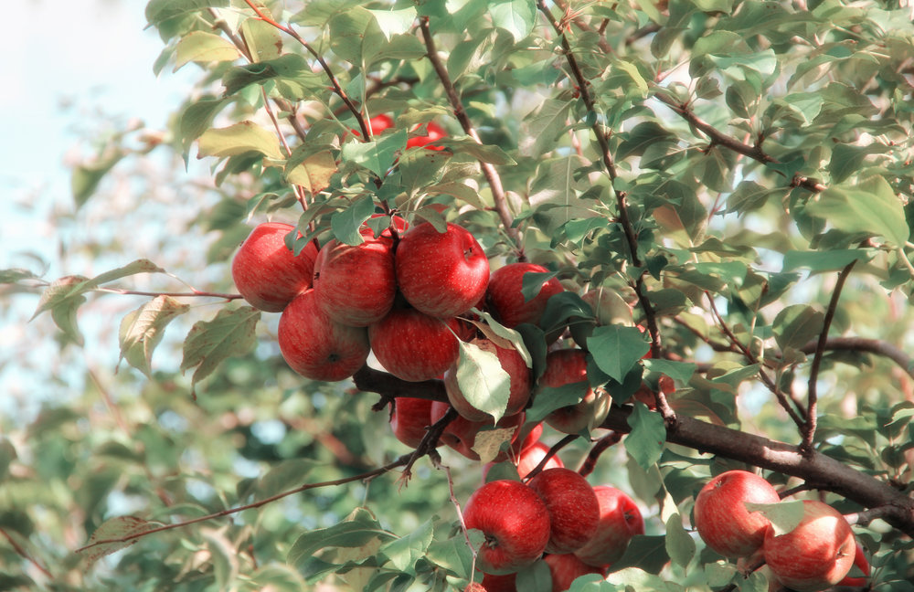 Apple Tree - When we think of fruit trees, apples are the first that come to mind. A red apple is striking against green foliage, and can add an exciting level to your everyday arrangement of houseplants.