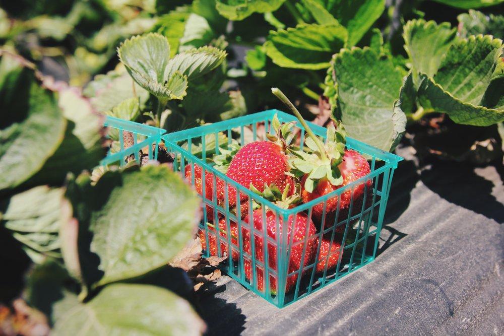 Strawberry Plant -       96       Normal  0          false  false  false    EN-US  ZH-CN  AR-SA                                                                                                                                                                                                                                                                                                                                                                                                                                                                                                                                                                                                                                                                                                                                                                                                                                                         /* Style Definitions */ table.MsoNormalTable {mso-style-name: