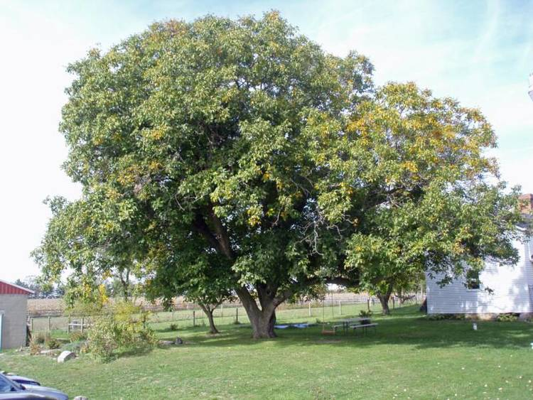 English Walnut Tree Fall