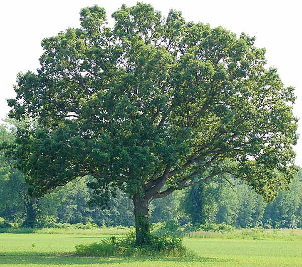 full-white-oak-lg.jpg