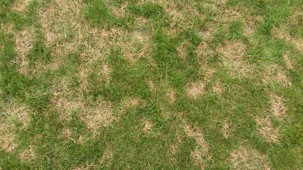 Brown patch in a lawn, late May