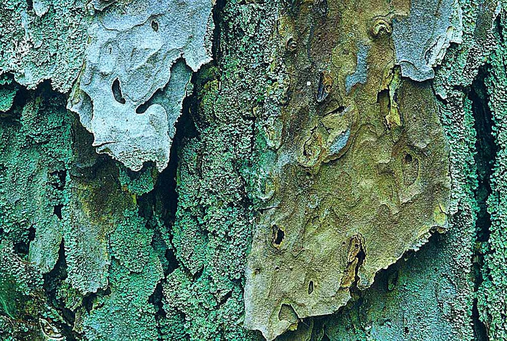 Bark of a pine tree.jpg