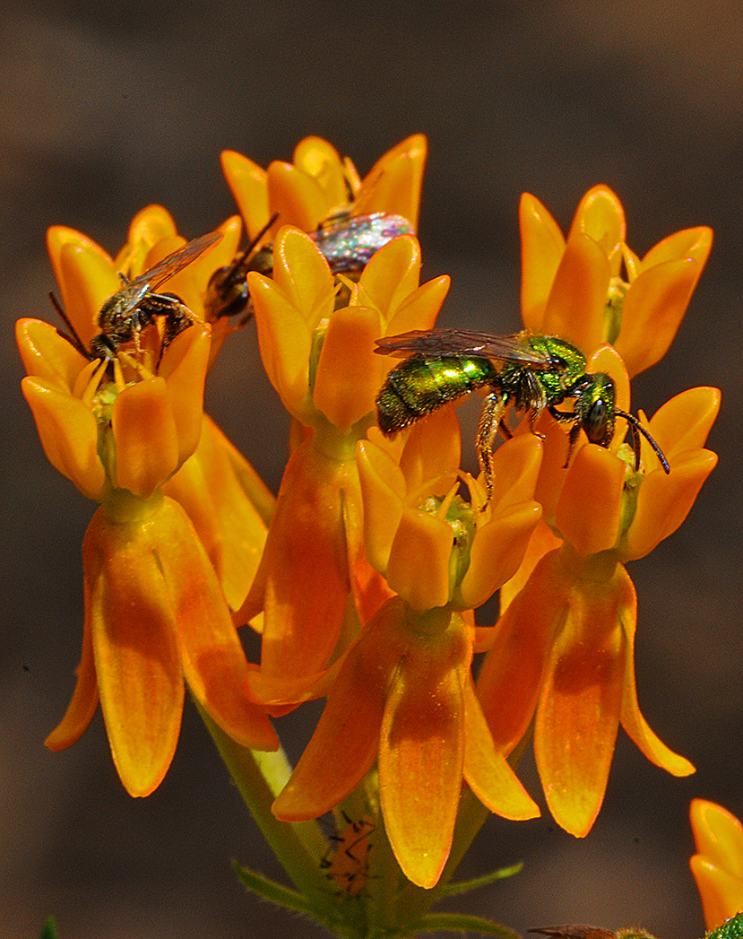Insects on Butterfly weed.jpg