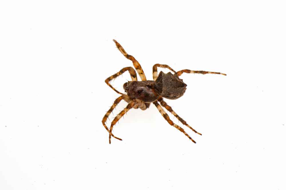 Acanthepeira sp., probably stellata, starbellied orbweaver.jpg