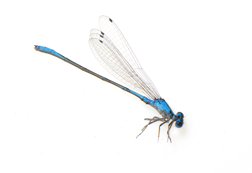Enallagma aspersum, azure bluet.jpg