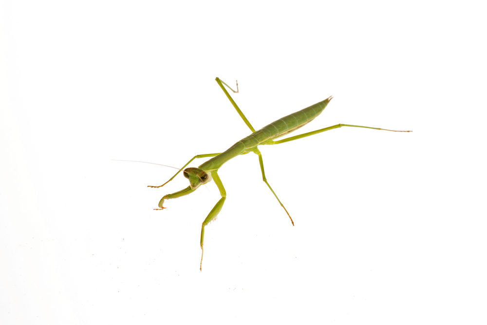 Family Mantidae, maybe genus Tenodera?. a praying mantis.jpg