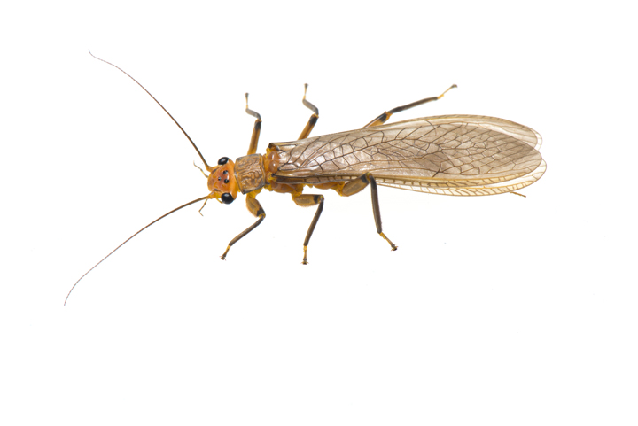 Family Perlidae, common stonefly.jpg