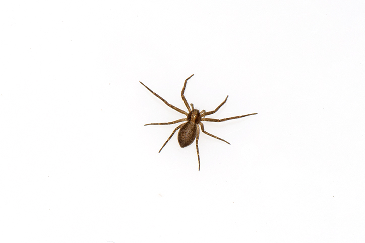 Philodromus sp. running crab spider.jpg