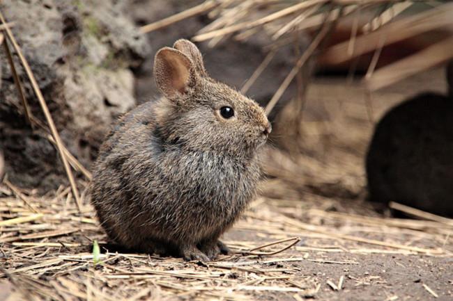 Resultado de imagen para Conejo de los volcanes
