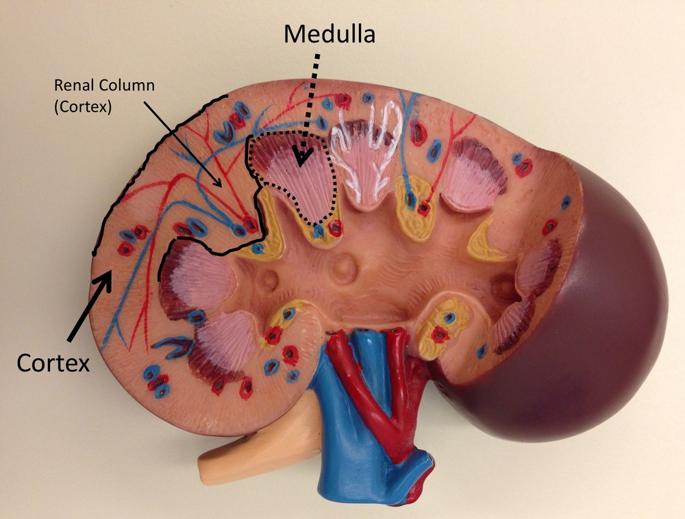 "Figure 1. Kidney model depicting renal medulla (""pyramids"") and cortex with interpyramidal renal columns (""columns of Bertin"")."