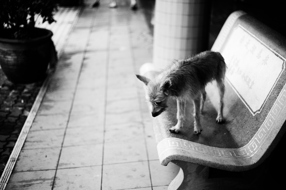 Dog on a bench at a Buddhist temple outside of Ipoh, Malaysia. February 2014.