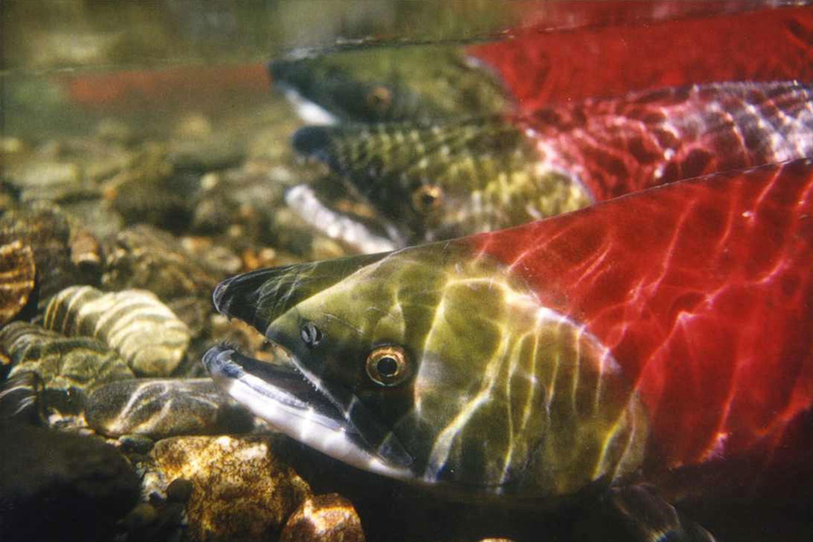 Sockeye salmon - Red or Sockeye salmon have a dark red meat compared to other salmon species and are easily recognized when they spawn by their bright red bodies and green heads. This color change is due to the dissolution and absorption of their scales, which exposes carotenoid pigments gained from their ocean diet. Unlike other salmon species Sockeye salmon only spawn in streams that eventually lead to lakes.Image & facts courtesy of NOAA