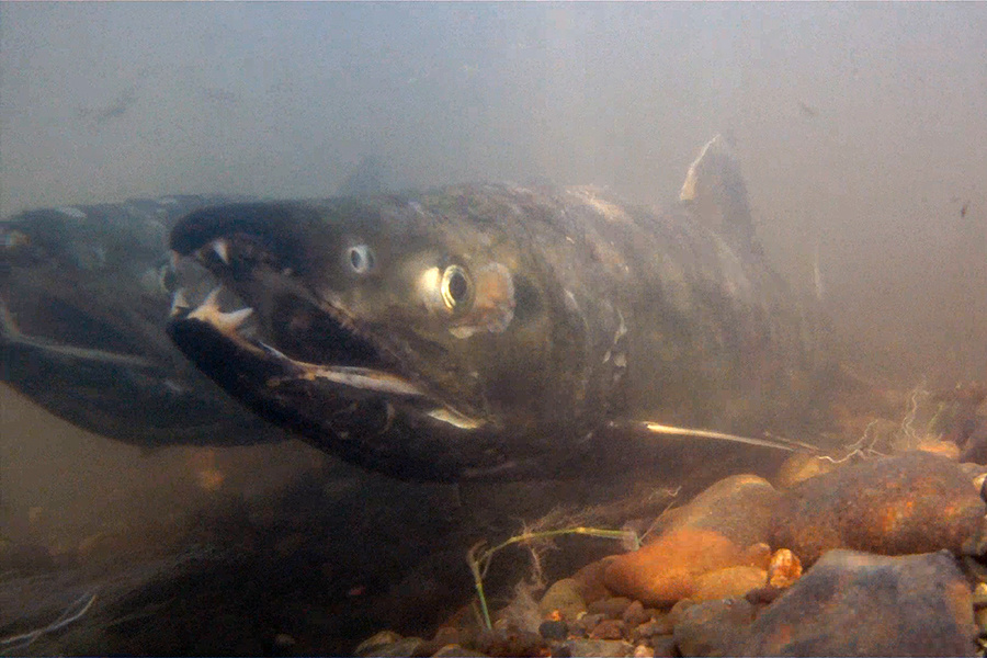 "Chum salmon - Chum or Keta salmon are known for their unique ""tiger stipe"" patterns of red, purple, and black when they are spawning. Chum salmon are second in size to Kings and found on both the North American and Asian coasts. The name Chum stems from the word tzum, which means ""spotted"" or ""marked"".Image & facts courtesy of NOAA"