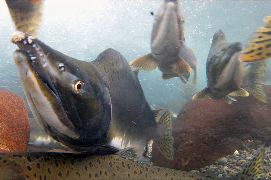 Pink Salmon - Pink or Humpy salmon are the smallest and most abundant of the Pacific salmon. Pre-spawning males are known for the large hump they develop on their backs. Pink salmon spawn every two years and as such are composed of two different stocks that rarely interbreed.Image & facts courtesy of NOAA