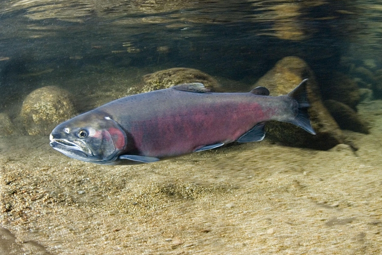 "Coho salmon - Silver or Coho salmon are commonly caught from July to August, but can be caught as late as October. Coho tend to stay closer to shore than Kings and are said to defend their territory with a complex dance known to scientists as the ""wig-wag dance"". The meat of Coho is dark pink and of high quality.Image & facts courtesy of NOAA"