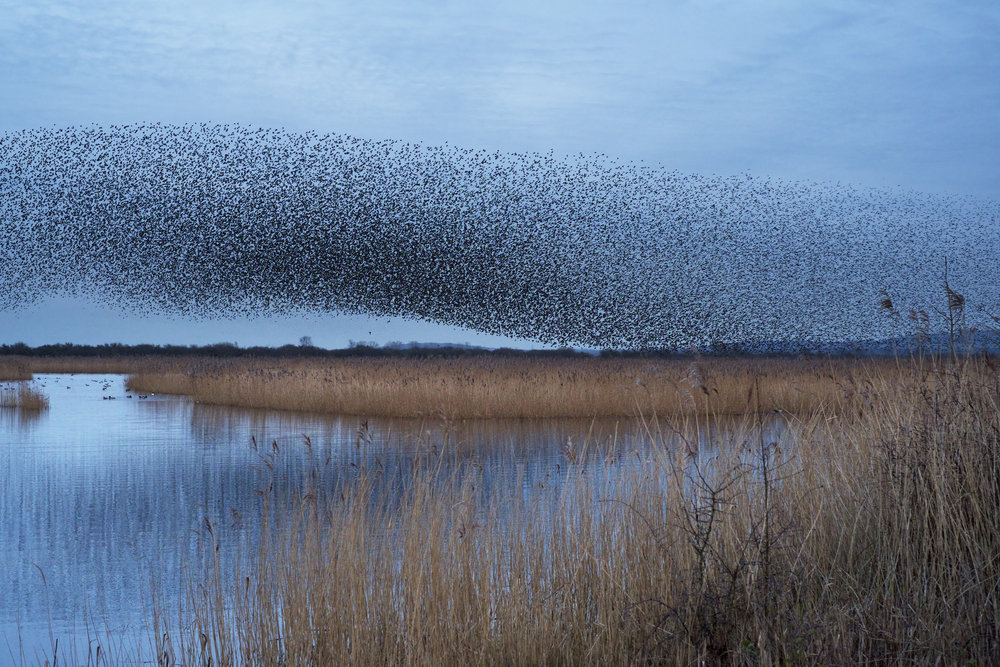 A murmuration of starlings