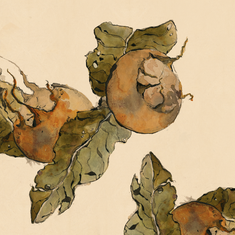 TheHungryChild-Illustration-Medlar-Watercolour