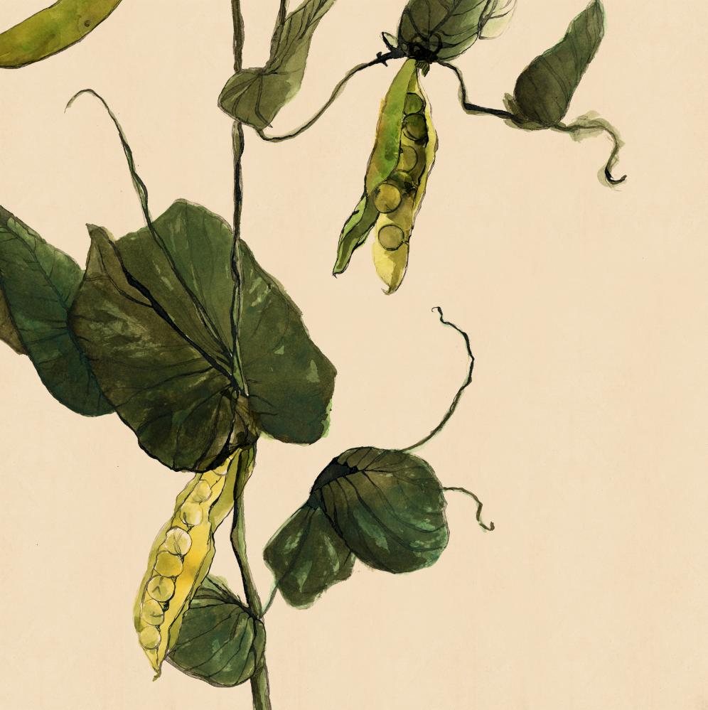 TheHungryChild-Illustration-Pea-Plant