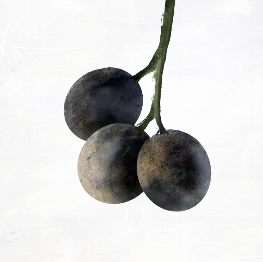 Julie Smits_Illustration_Grapes.png