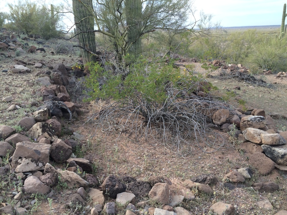 Creosote, palo verde, and saguaro growing among the ruins of an ancient Hohokam stone structure at Cerro Prieto, Los Robles Archaeological District, Ironwood Forest National Monument. Photo by Fastily.