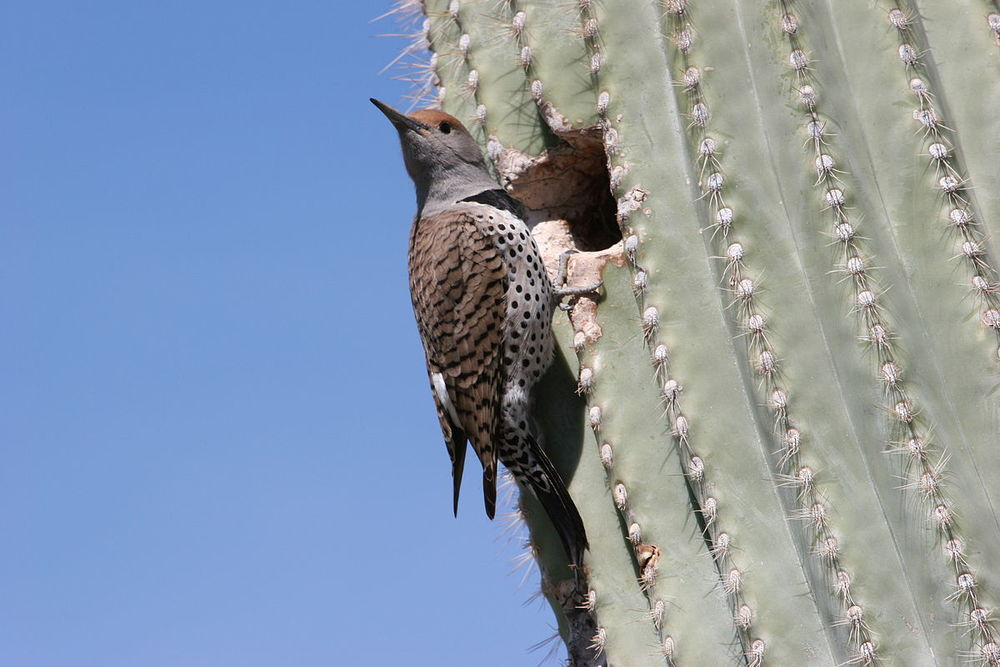Gilded Flicker and nest hole. Photo by  Magnus Manske .