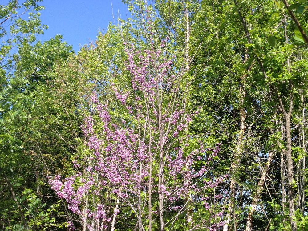 Eastern Redbud at the wood's edge.