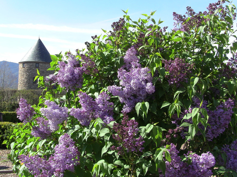 Descanso Hybrid Lilacs  line the main Kitchen Garden walk.