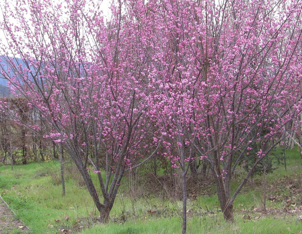 Peggy Clarke flowering apricot in bloom.