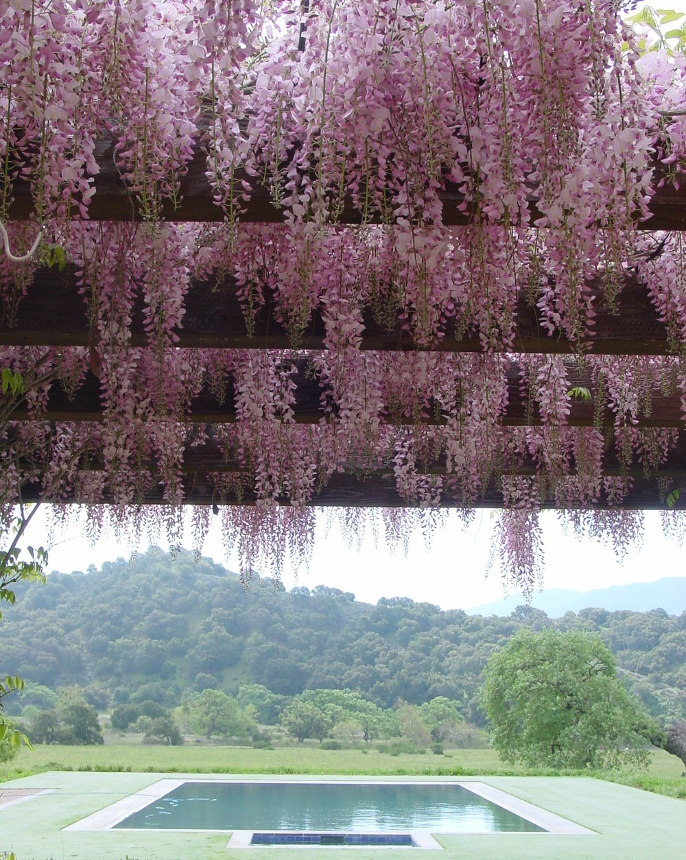 Pink Wisteria grows over the Breakfast Room Terrace in a view overlooking the pool and spa.