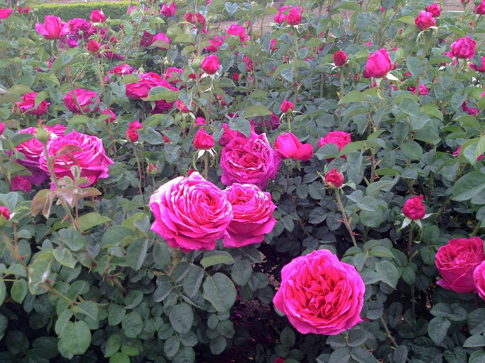 There are four separate  David Austin rose beds  encompassing 60 varieties of Antique and David Austin roses - 300 bushes in all.