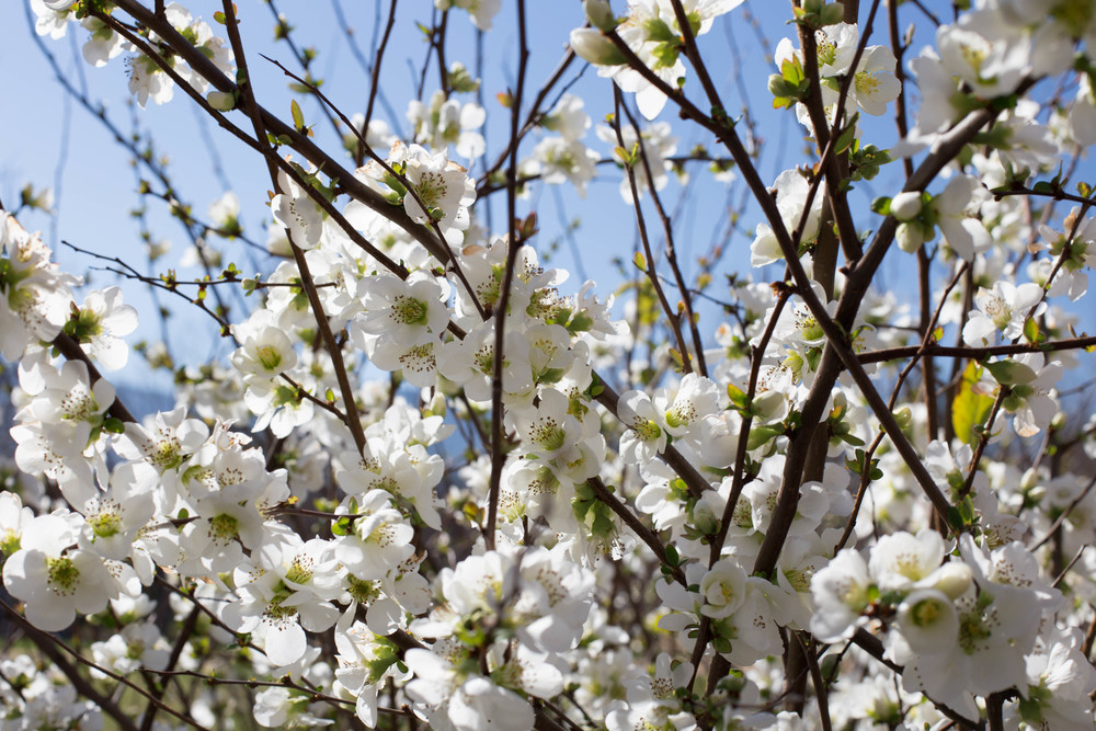 Clarke's White Flowering Quince profusely blooms to signal the approaching Spring. Branches are often harvested with unopened flowers, and brought inside to open and brighten the late winter days.