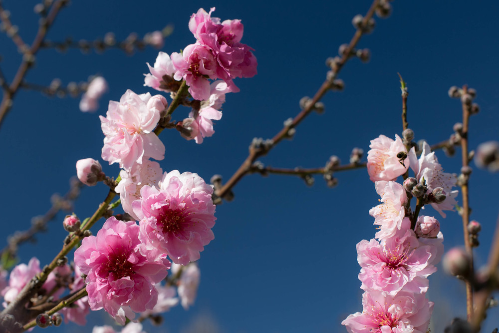 Profuse, showy, double pink flowers on a Double Jewel yellow freestone peach tree.