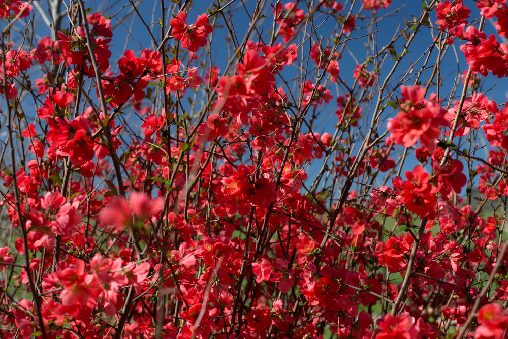 Mature 5' tall Red Flowering Quince blooms in the wood