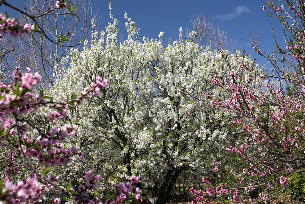 A Flavor King Pluot tree is flanked by Fay Elberta and O'Henry Peach trees in the stone fruit orchard.