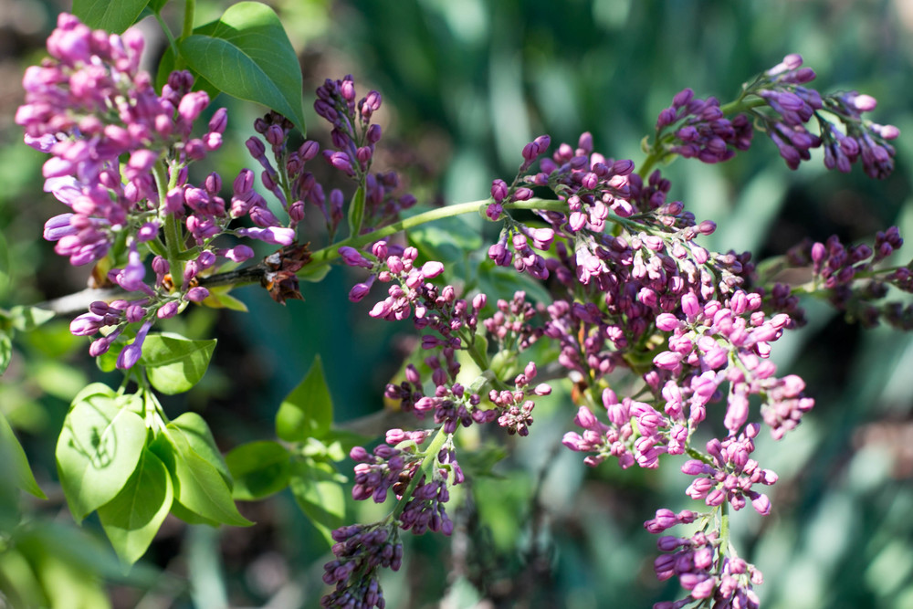 Descanso Lilac buds in the cutting garden